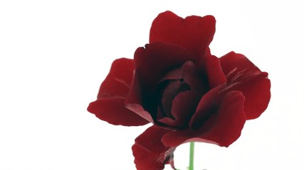 Fotoväggar - Beautiful red rose flower open on white background. Blooming dark purple rose flowers opening closeup. Blossom closeup. Timelapse 4K UHD video footage. 3840X2160