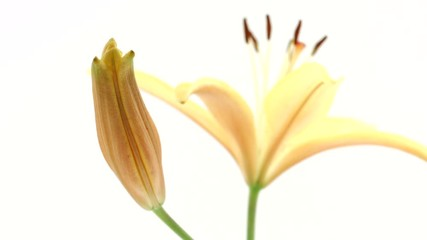 Fotoväggar - Lilies. Beautiful yellow Lily flower buds opening over white background. Time lapse of yellow Lilly flowers blooming closeup. 4K UHD video footage. 3840X2160