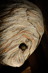 wasp crawling on a big hornet's nest, a version with an overall view of the nest