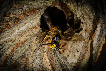 detail entrance poking a hornet's nest with aggressive wasp