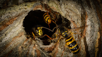 detail entrance poking a hornet's nest with aggressive wasp, focus on mandibles wasp