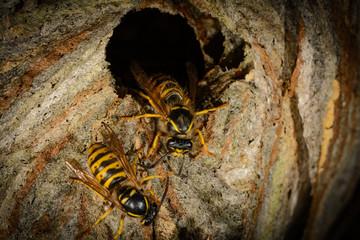 detail entrance hornet's nest of wasps