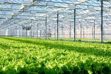 Lettuce growing in greenhouse. Hydroponic vegetables Wall mural