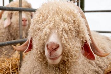 Angora sheep face