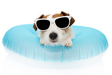 DOG SUMMER VACATIONS. JACK RUSSELL INSIDE A INFLATABLE OR BLUE FLOAT POOL WEARING SUNGLASSES. ISOLATED AGAINST WHITE BACKGROUND.