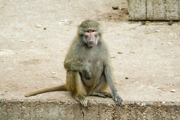 Beautiful female Papion or Baboon posing for the camera, resting on the cement