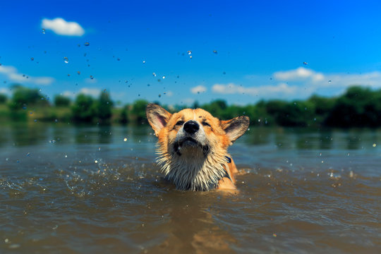 cute red puppy Corgi dogs with large ears swim in a pond ridiculously brushing off splashes and drops from the muzzle in the village on a sunny summer day