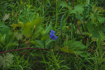 Spiderwort (Tradescantia virginiana) and wild grape