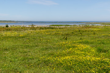 Beautiful wide open grassland with yellow flowers by the coast of the Baltic Sea