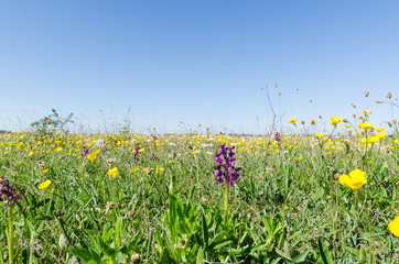 Ground level image of a flowery field with wild growing flowers in spring season