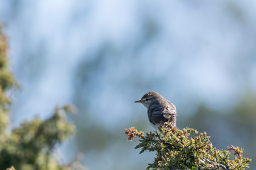 Small songbird, Lesser Whitethrout, on a juniper twig