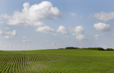 Cereal crops affected by the recent drought near Fort Qu'Appelle, Saskatchewan