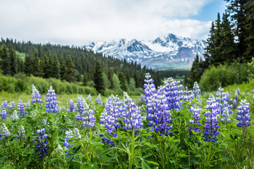 Purple lupin wildflowers in the remote Delta Mountains of Alaska. Fotobehang