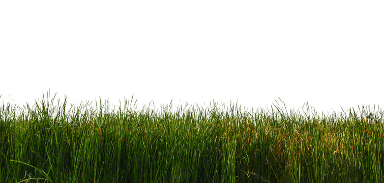 Large tall grass on a white background