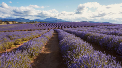 late afternoon gimbal shot of lavender rows in tasmania