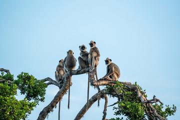 Monkeys Bundala Sri Lanka