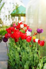 Fotobehang Begraafplaats Red tulips in the garden