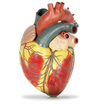 Plastic model of human heart isolated