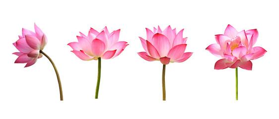 lotus flower on white background Fototapete