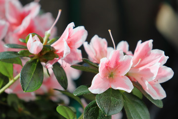 Delightful pink and white azalea flowers.