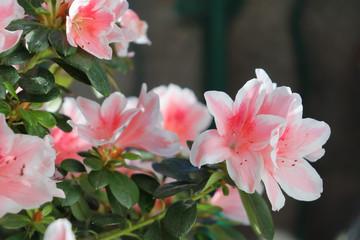 Heerlijke roze en witte azalea bloemen.