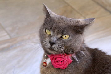 Beautiful gray cat with a rose around his neck