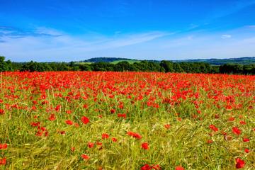 Poppy field in the UK