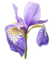 Bright violet-yellow iris, flower on white background