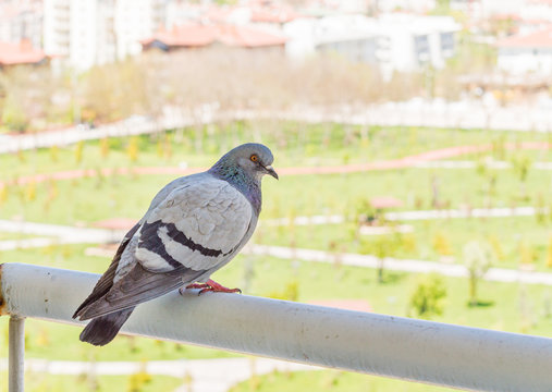 Gray pigeon watching the park from balcony
