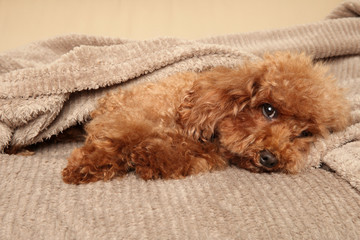 Toy Poodle puppy under blanket