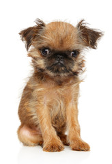 Portrait of a Brussels Griffon puppy