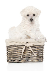 Toy poodle puppy in wicker basket