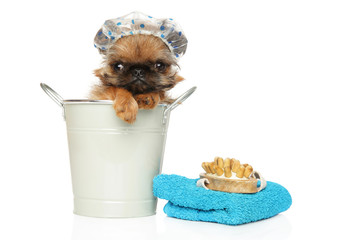 Brussels Griffon puppy in a bucket and bath hat