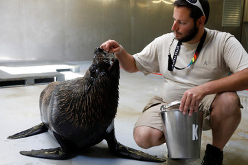 A caretaker feeds sea lion Kito,14, with gelatine cubes at the Paris Zoological Park in the Bois de Vincennes in the east of Paris