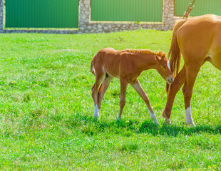 Red foal with mare on green grass in the pen