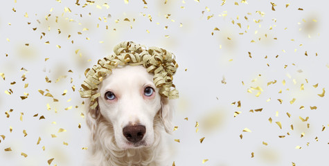 PORTRAIT DOG PARTY. BEAUTYFUL PUPPY CELEBRATING BIRTHDAY, ANNIVERSARY OR NEW YEAR WITH A GOLDEN RIBBON ON HEAD. ISOLATED ON GRAY BACKGROUND WITH CONFETTI FALLING.