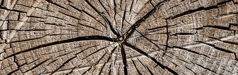 old wood texture of tree stump, panoramic banner