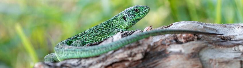 Green beautiful lizard sitting on a fallen tree. Wildlife. Animal reptile close-up. Panoramic banner Wall mural