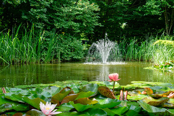 Photo sur Plexiglas Nénuphars Beautiful garden pond with amazing pink water lilies or lotus flowers Perry's Orange Sunset. Nymphaea are bloom among leaves on blurred fountain background. Selective focus on Nymphaea