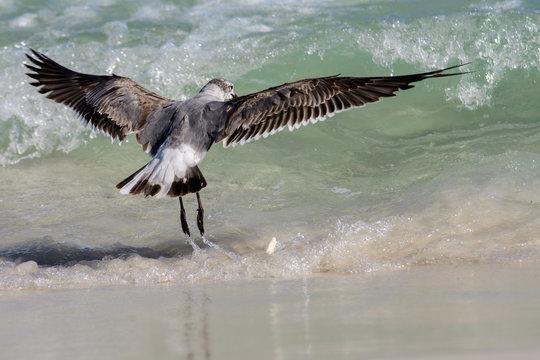shore bird landing in waves at beach