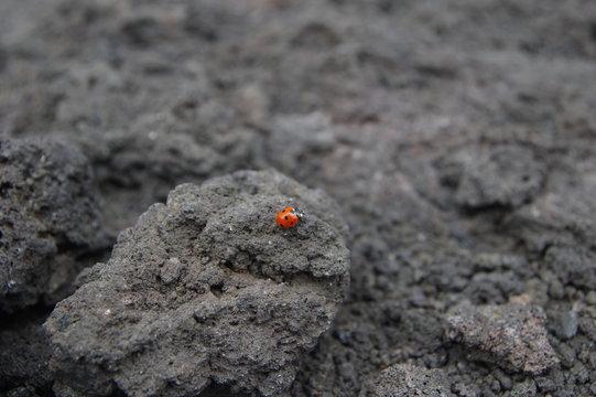 Marienkäfer auf dem Ätna