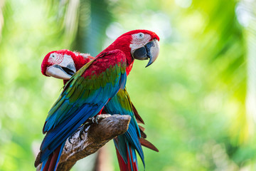 Fototapeten Brasilien Group of colorful macaw on tree branches