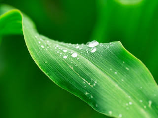Fresh green leaves closeup with raindrops after rain Wall mural