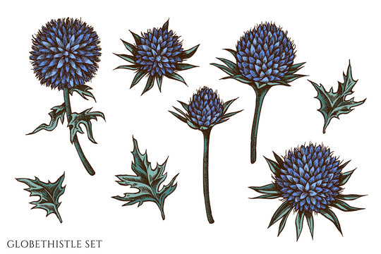 Vector set of hand drawn colored globethistle