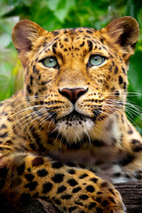 Foto op Plexiglas Luipaard This close up portrait of an endangered Amur Leopard was shot at a local zoo in a light overcast condition at an after hours event. Normally, this cat is hard to shoot as it is nocturnal an sleeping