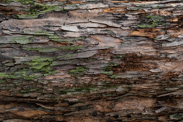 Closeup texture of tree bark. Pattern of natural tree bark background. Rough surface of trunk. Green moss and lichen on natural wood. Dirt skin of wooden. Grey, brown, and green nature background.