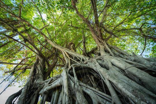 Strangle fig tree