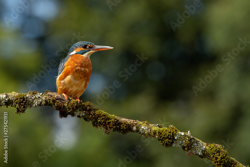 Wall mural Female Common Kingfisher perched on a branch with a blue and green bokeh background.