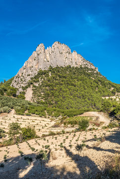 France, Drome, The Provencal Baronnies Regional Natural Park, young olive tree plantation at Bois-les-Baronnies at the foot of the rock Saint Julien (767 meters high)
