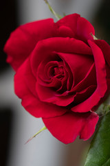 Scarlet red rose closeup. Symbol of love, postcards.